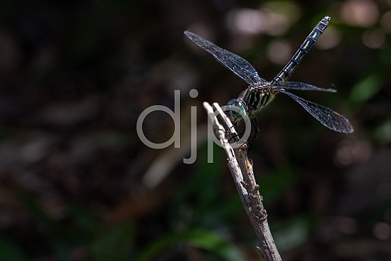 Sugar Land, djonesphoto, dragonfly, excursions with djp, macro, personal, quarantine, D Jones Photography