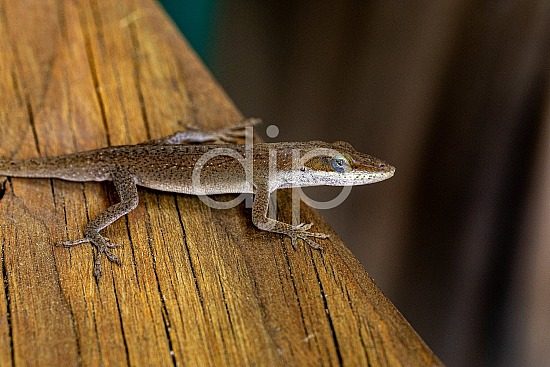 D Jones Photography, Sugar Land, djonesphoto, excursions with djp, lizard, macro, personal, quarantine, brown
