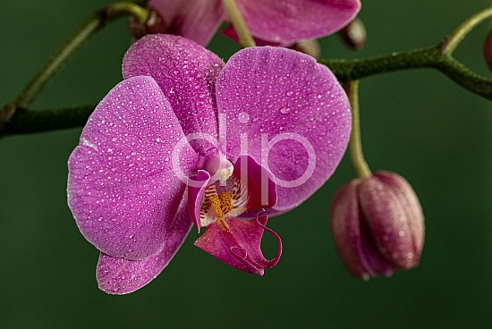 djonesphoto, flower, flowers, macro, orchid, orchids, personal, pink, yellow, D Jones Photography