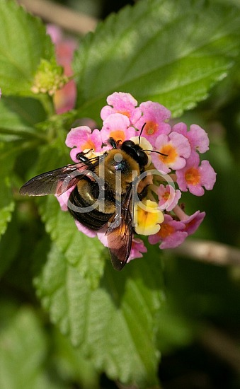 D Jones Photography, black, djonesphoto, flower, flowers, lantana, macro, personal, pink, yellow, bees