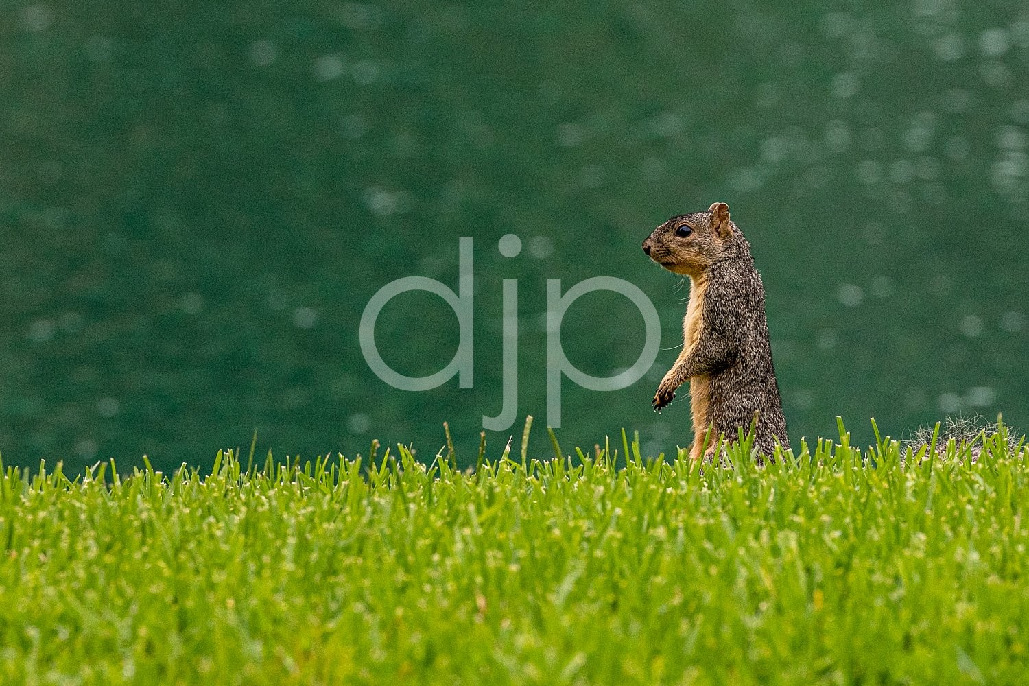D Jones Photography, Sugar Land, djonesphoto, excursions with djp, green, personal, quarantine, squirrel, brown