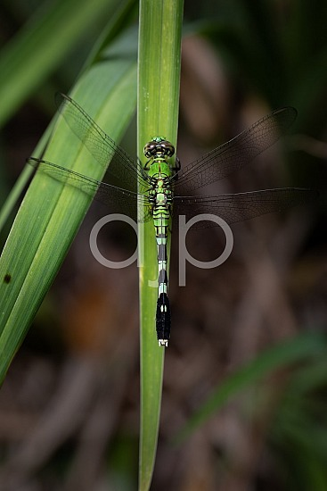D Jones Photography, Sugar Land, djonesphoto, dragonfly, excursions with djp, green, macro, personal, quarantine, black