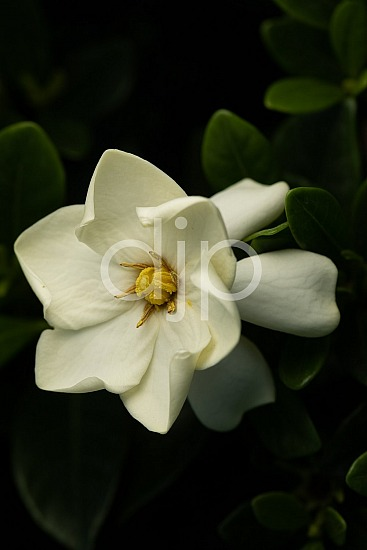 Sugar Land, djonesphoto, excursions with djp, flower, gardenia, green, macro, personal, quarantine, white, yellow, D Jones Photography