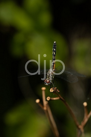D Jones Photography, Sugar Land, djonesphoto, dragonfly, excursions with djp, macro, personal, quarantine, red, yellow, black