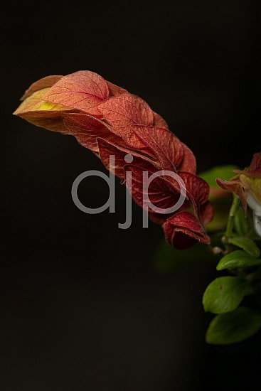 Sugar Land, djonesphoto, excursions with djp, flower, macro, orange, personal, quarantine, red, shrimp plant, yellow, D Jones Photography