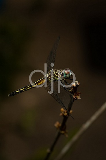 D Jones Photography, Sugar Land, blue, djonesphoto, dragonfly, excursions with djp, macro, personal, quarantine, red, yellow, black