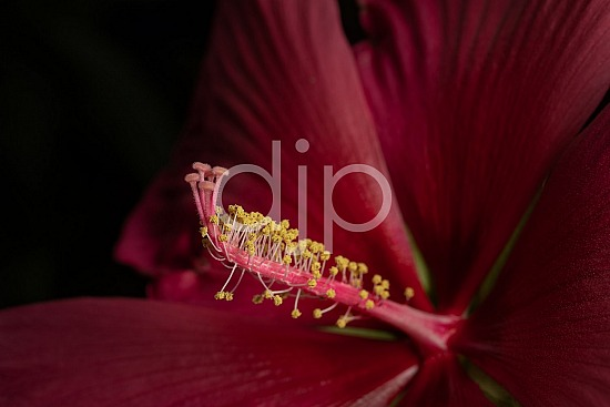 Sugar Land, djonesphoto, excursions with djp, flower, hibiscus, macro, personal, quarantine, yellow, D Jones Photography