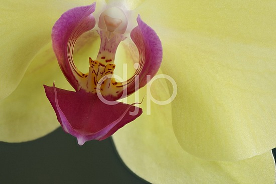 focus stacking, macro, pink, quarantine, white, yellow, flower