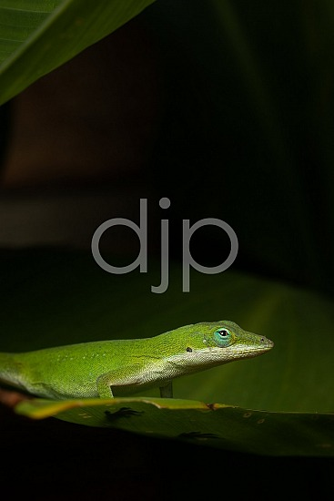 Sugar Land, djonesphoto, excursions with djp, green, lizard, macro, personal, quarantine, white, D Jones Photography