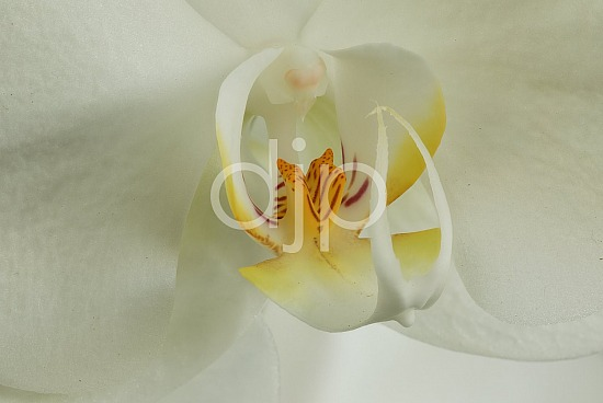 focus stacking, orchid, pink, quarantine, white, yellow, flower