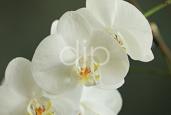 focus stacking, orchid, orchids, pink, quarantine, white, yellow, flower