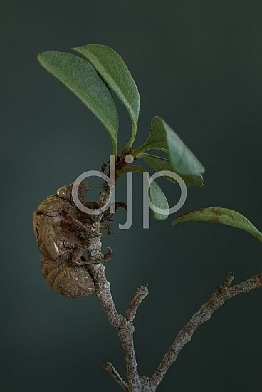 cicada shell, focus stacking, green, macro, quarantine, brown