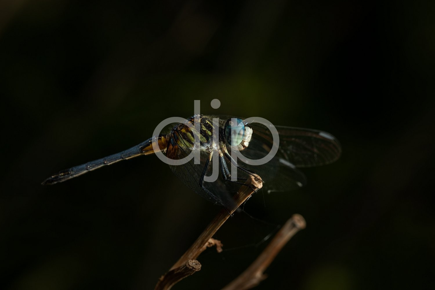 D Jones Photography, Sugar Land, blue, djonesphoto, dragonfly, excursions with djp, green, macro, personal, quarantine, white, black