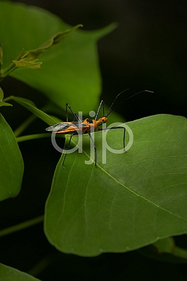D Jones Photography, Sugar Land, black, djonesphoto, excursions with djp, macro, orange, personal, quarantine, assassin bug