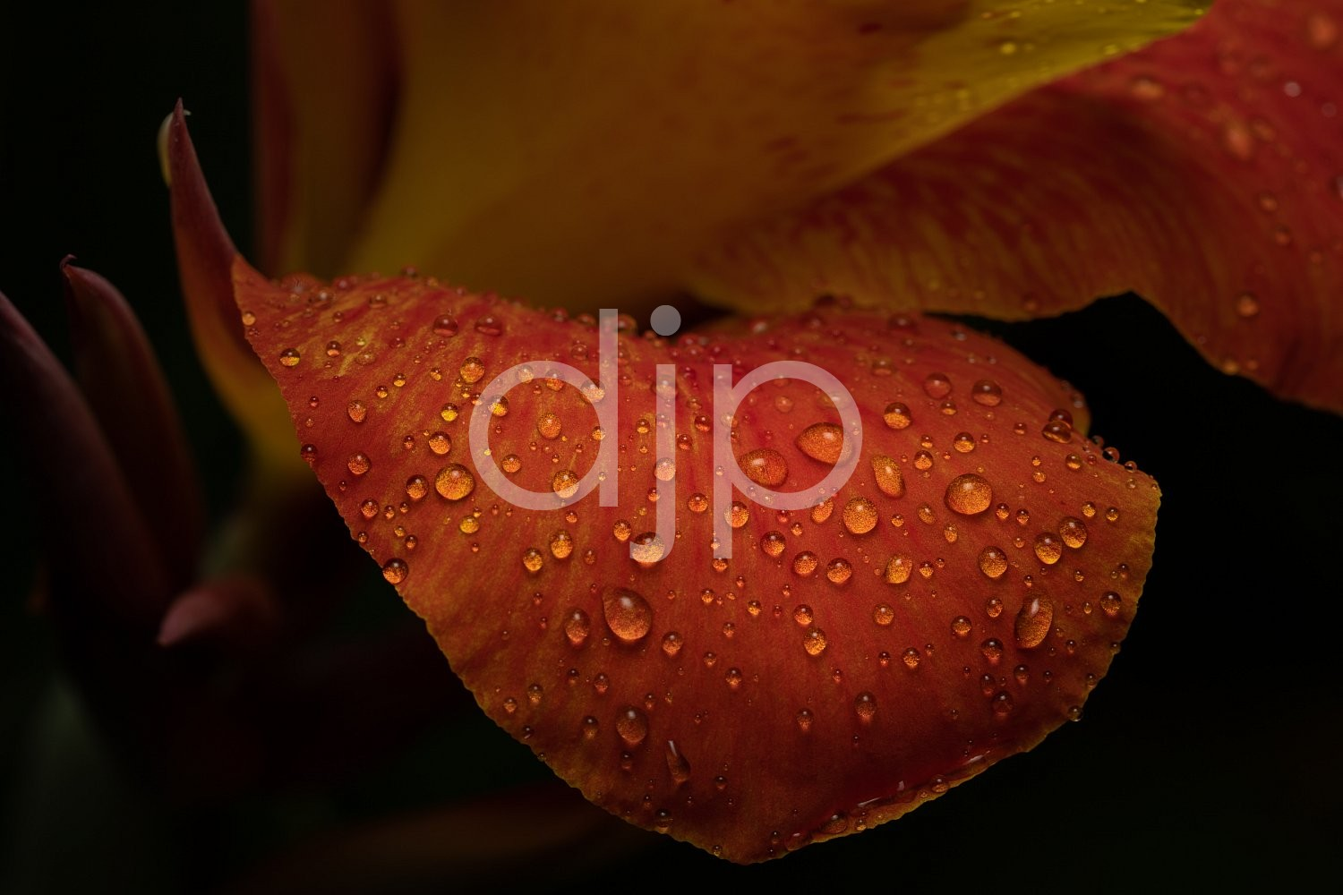 D Jones Photography, Sugar Land, djonesphoto, droplets, excursions with djp, macro, orange, personal, quarantine, yellow, canna lily