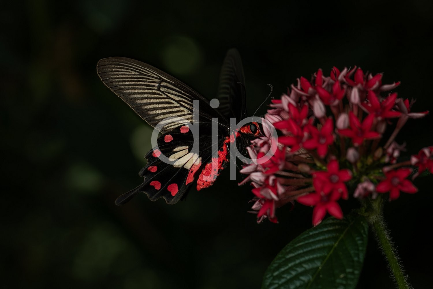 Butterfly Exhibit, D Jones Photography, HMNS, Houston Museum of Natural Science, butterfly, djonesphoto, macro, white, black