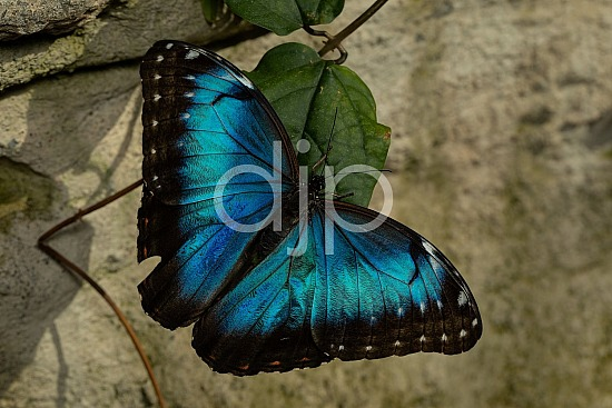 Butterfly Exhibit, D Jones Photography, HMNS, Houston Museum of Natural Science, blue, butterfly, djonesphoto, macro, quarantine, black