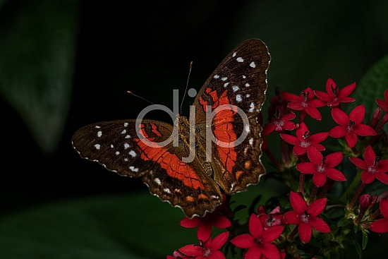 Butterfly Exhibit, D Jones Photography, HMNS, Houston Museum of Natural Science, brown, butterfly, djonesphoto, macro, orange, quarantine, white, black