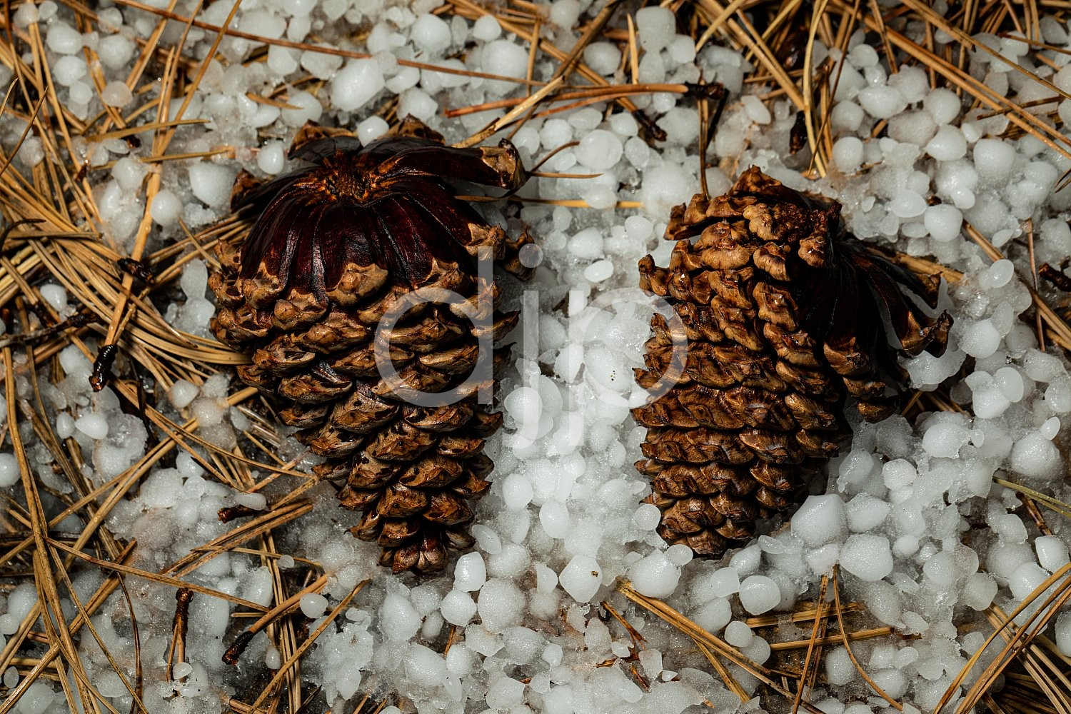D Jones Photography, New Mexico, Santa Fe National Forest, djonesphoto, excursions with djp, hail, nm, pinecone, quarantine, white, brown