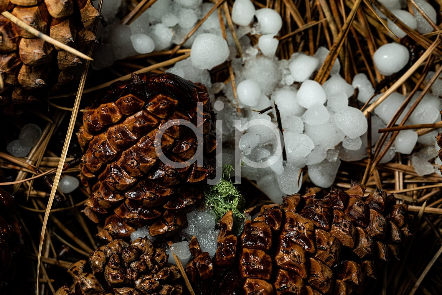 D Jones Photography, New Mexico, Santa Fe National Forest, djonesphoto, excursions with djp, hail, macro, nm, pinecone, quarantine, white, brown