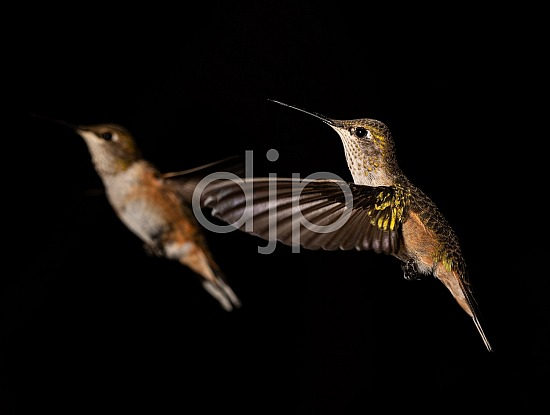 D Jones Photography, HSS, New Mexico, Santa Fe National Forest, djonesphoto, excursions with djp, green, hummingbirds, macro, nm, quarantine, white, brown