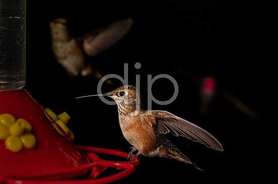 D Jones Photography, HSS, New Mexico, Santa Fe National Forest, djonesphoto, excursions with djp, hummingbirds, nm, quarantine, white, brown