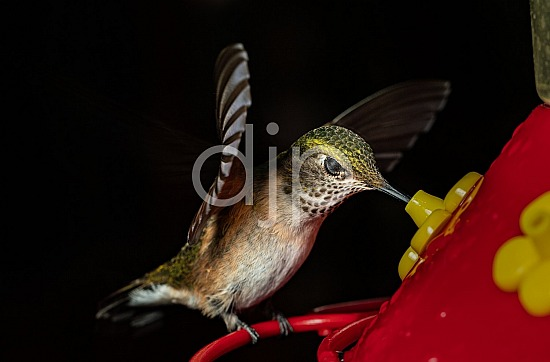D Jones Photography, HSS, New Mexico, Santa Fe National Forest, brown, djonesphoto, excursions with djp, green, hummingbirds, macro, nm, quarantine, white, birds