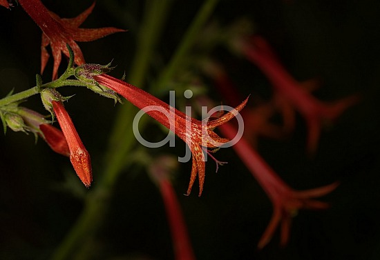 New Mexico, Santa Fe National Forest, djonesphoto, excursions with djp, flowers, green, macro, nm, quarantine, red, D Jones Photography