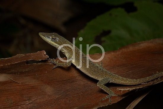 Borden Street, D Jones Photography, Sugar Land, brown, djonesphoto, excursions with djp, lizard, macro, personal, quarantine, white, black
