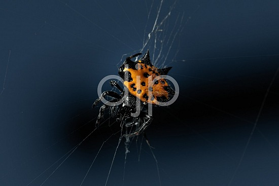 Borden Street, D Jones Photography, Sugar Land, djonesphoto, excursions with djp, macro, orange, personal, quarantine, spider, spiderweb, spiny orb weaver, black
