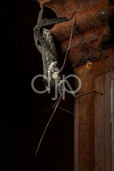 Borden Street, D Jones Photography, Sugar Land, bugs, djonesphoto, excursions with djp, giant leaf footed bug, macro, personal, quarantine, white, black