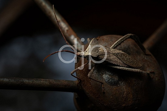 Borden Street, D Jones Photography, Sugar Land, brown, bugs, djonesphoto, excursions with djp, giant leaf footed bug, macro, personal, quarantine, black